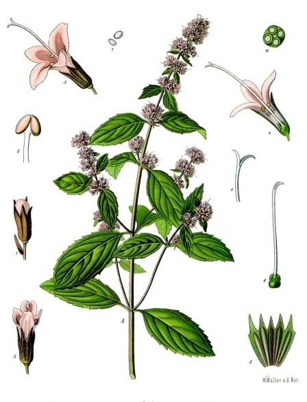 Pepermunt, Mentha × piperita